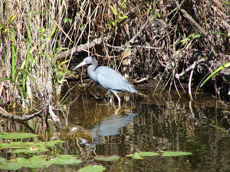 Day 123 - Everglades, Small Blue Heron
