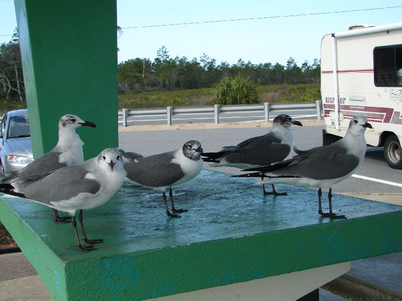 Day 138 - Carrabelle Beach, Terns