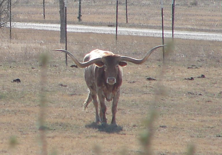 Day 155 - Texas Longhorn