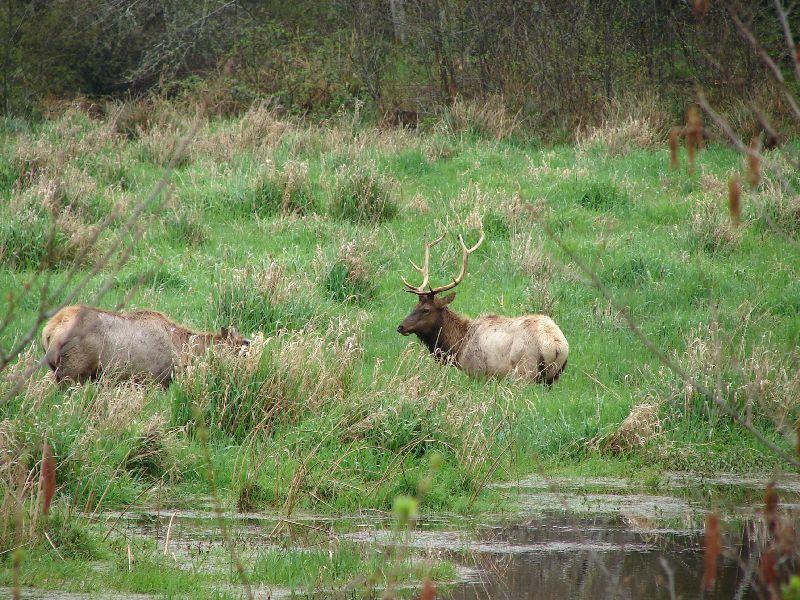 Day 200 - Wild Elk Bull