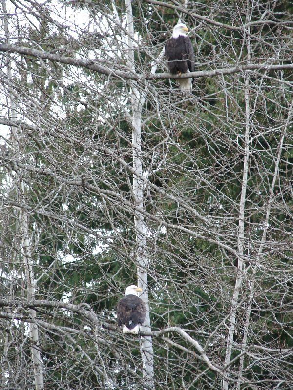 Day 210 - Bald Eagle, Pair