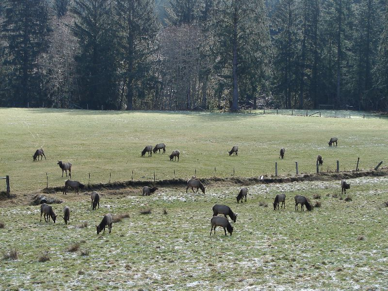 Day 210 - Roosevelt Elk, Herd