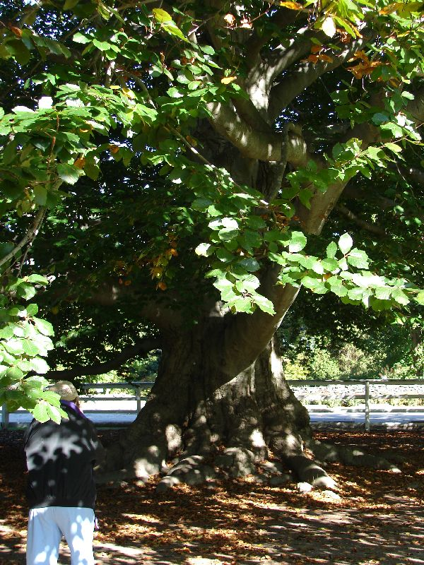 Day 58 - Topiary Gardens, Copper Beech Tree