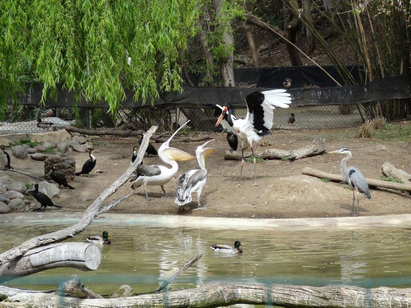 Saddleback Stork & Pelicans