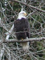Day 210 - Bald Eagle