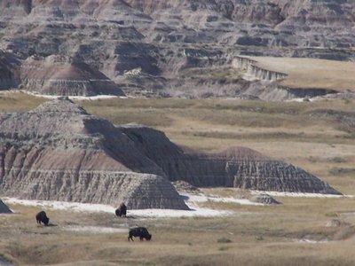 Day 11 - SD Badlands, Bison