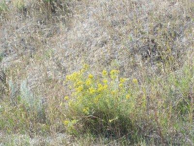 Day 11 - SD Badlands, Wildflowers 5