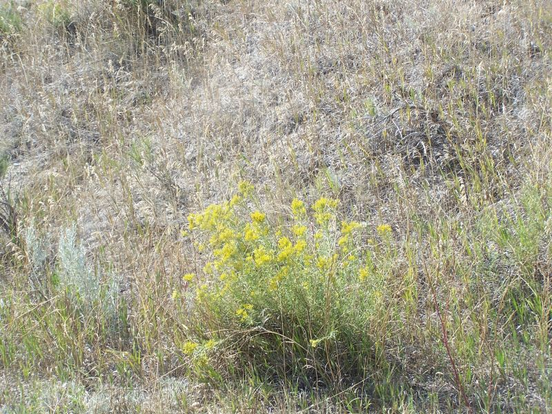Day 11 - SD Badlands, Wildflowers 5