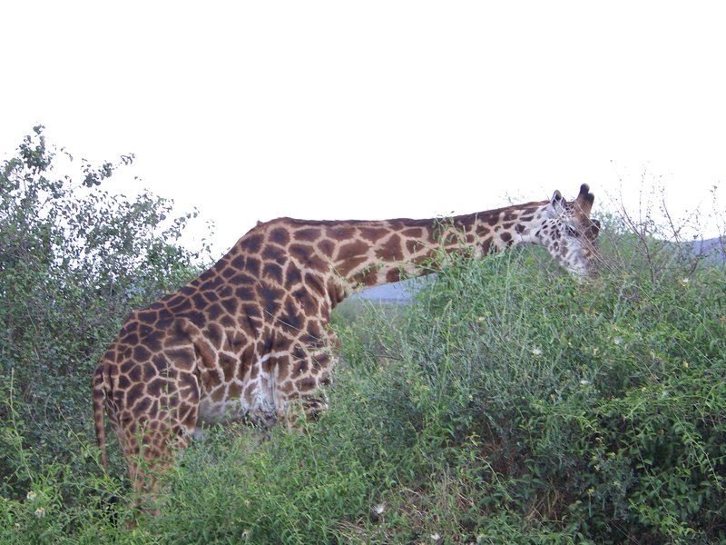 Giraffe in the Ngorongoro