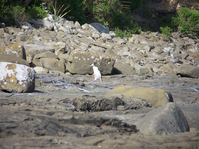 Yellow Eyed Penguin Returning to Nest