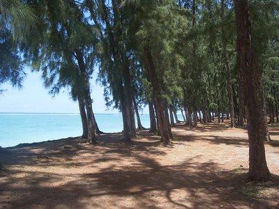 filao trees, Flic en Flac seafront