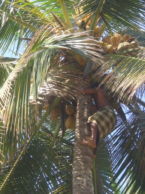 cocunut from tree