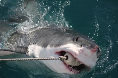 That's a hungry great white