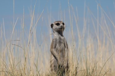 The Bold Meerkat and his Domain