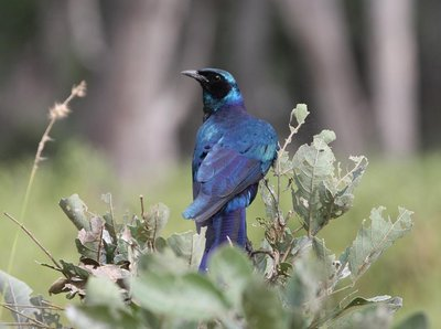Beutiful Bird in Moremi