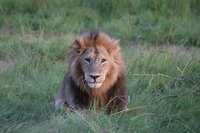 Adult Male Lion - Moremi