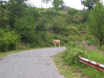 Cow_on_the_road.jpg
