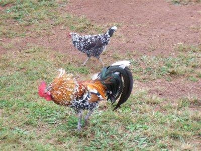 3chickens__Small_.jpg