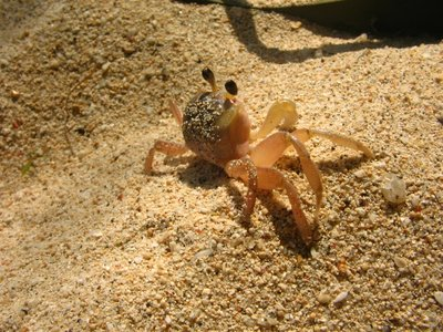 Tiny Crab