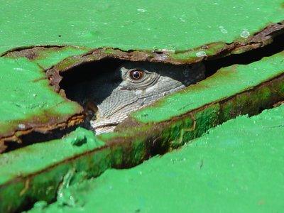 The Shy Iguana