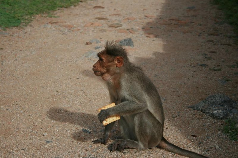 Monkey with Crackers