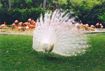 Busch Gardens Peacock