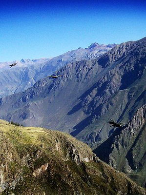 condors gliding over the andes