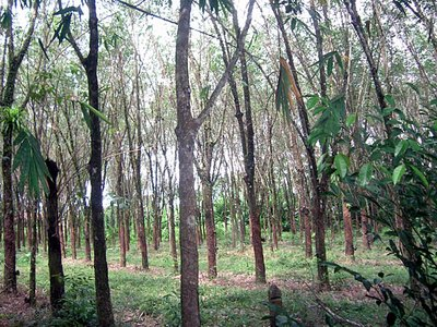 KHAO LAK RUBBER TREES