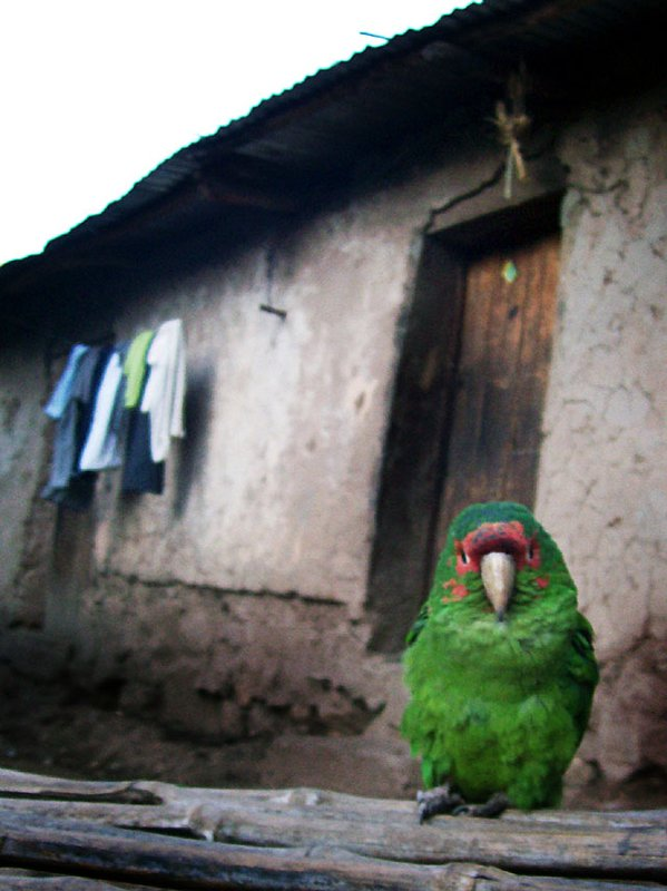 Andes parrot house