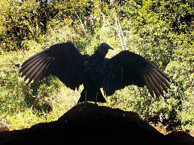 iguazu falls condor