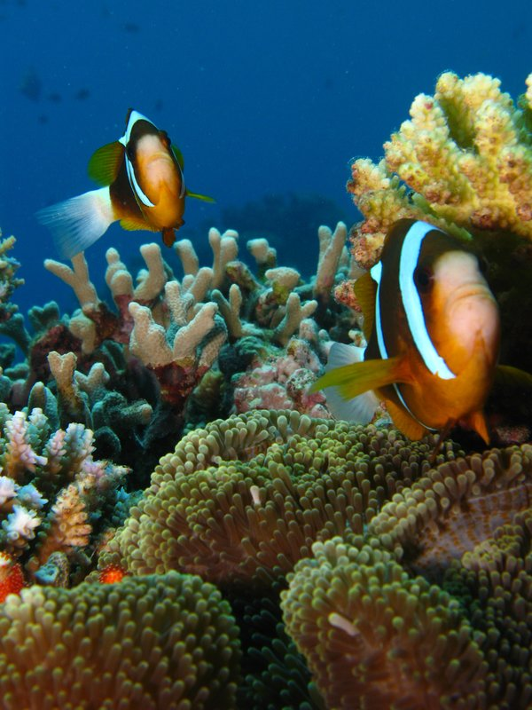 Nemo in Great Barrier Reef