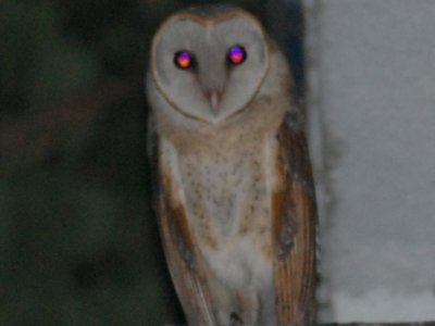 Red-eyed Owl