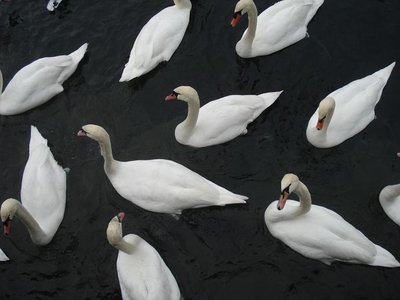 switzerland_swan.jpg