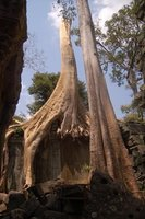 Tallest tree?