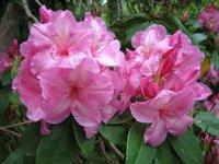 Pink Rohdedendron - Rohdedendron Gardens Olinda