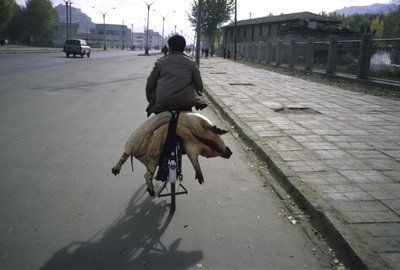 Man on bicycle with dead pig