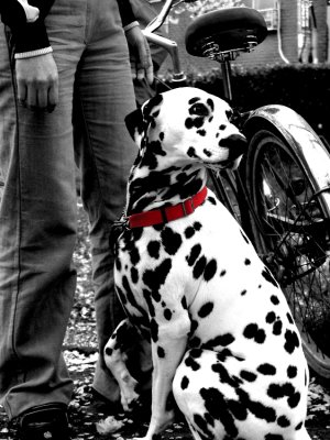 Dalmation_poser_8x10.jpg