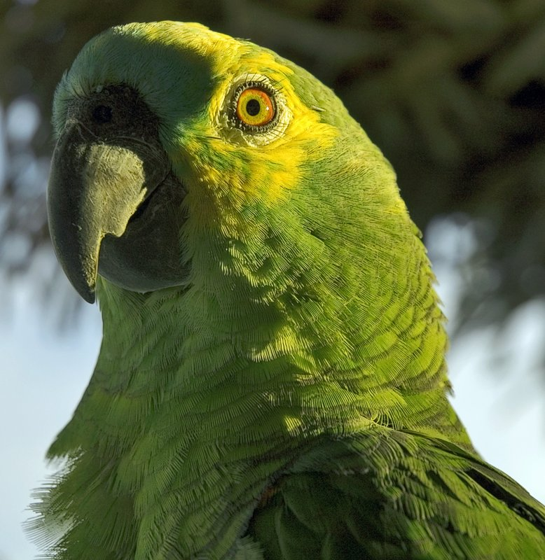 Brazilian Parrot