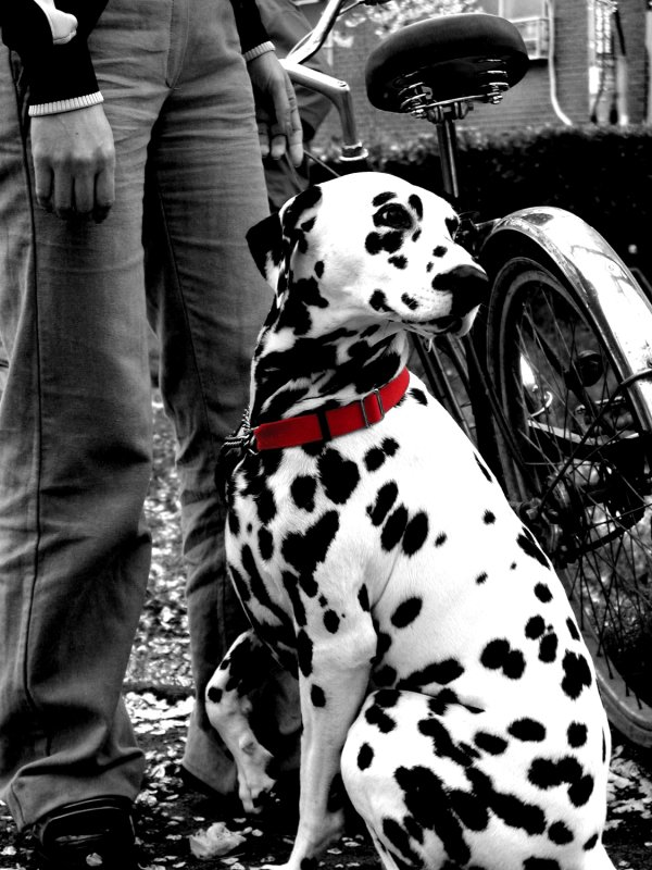 Dalmation Poser