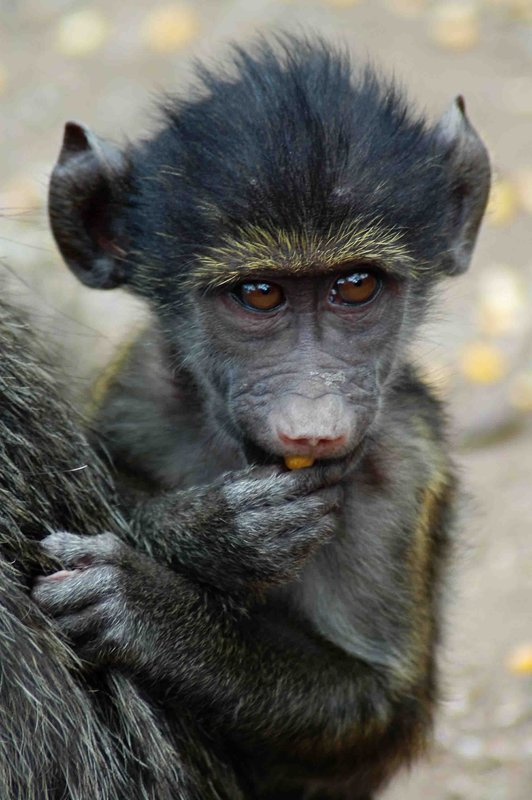 baboon sanctuary