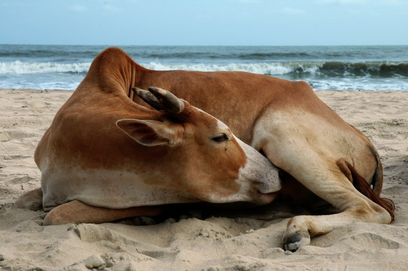 Beach Cow