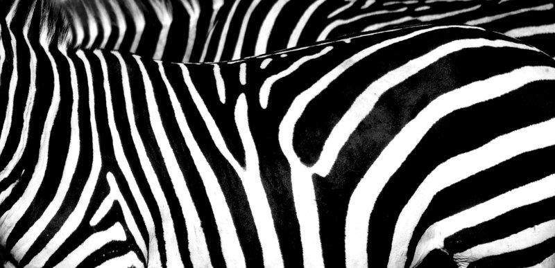 large_zebra_skin.jpg