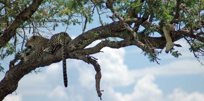 leopard and his kill