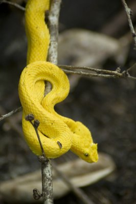 tree snake