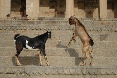 varanasi goats