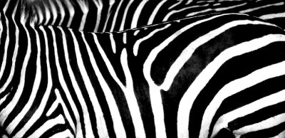 zebra skin