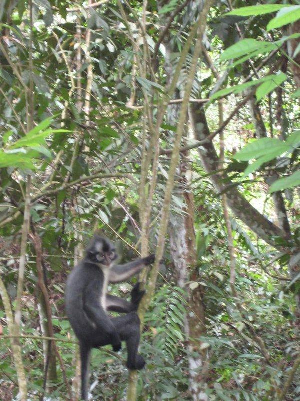 thomas_monkey