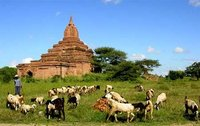 Shepherd and flock, Bagan