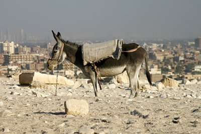 Donkey tethered to rock