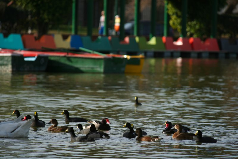 Water birds in the Parque 3 de Febrero
